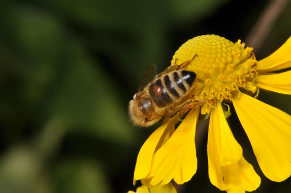 Biene auf Sonnenblume
